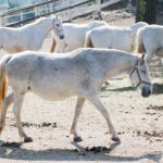 Lipica Stud Farm Tour and Lipizzaner Experience